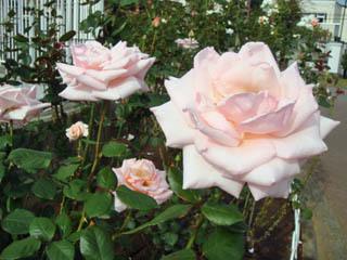 バラが咲いたよ