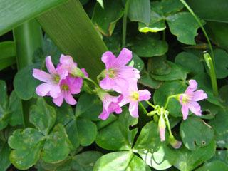 アガパンサスの下に咲く花