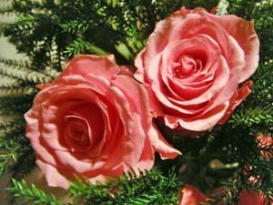 ピンクのバラが可愛い