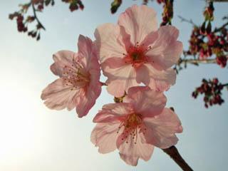 川の横の桜